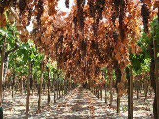 Cách nhận biết nho khô nguyên cành Úc và nho khô nguyên cành Trung Quốc-1